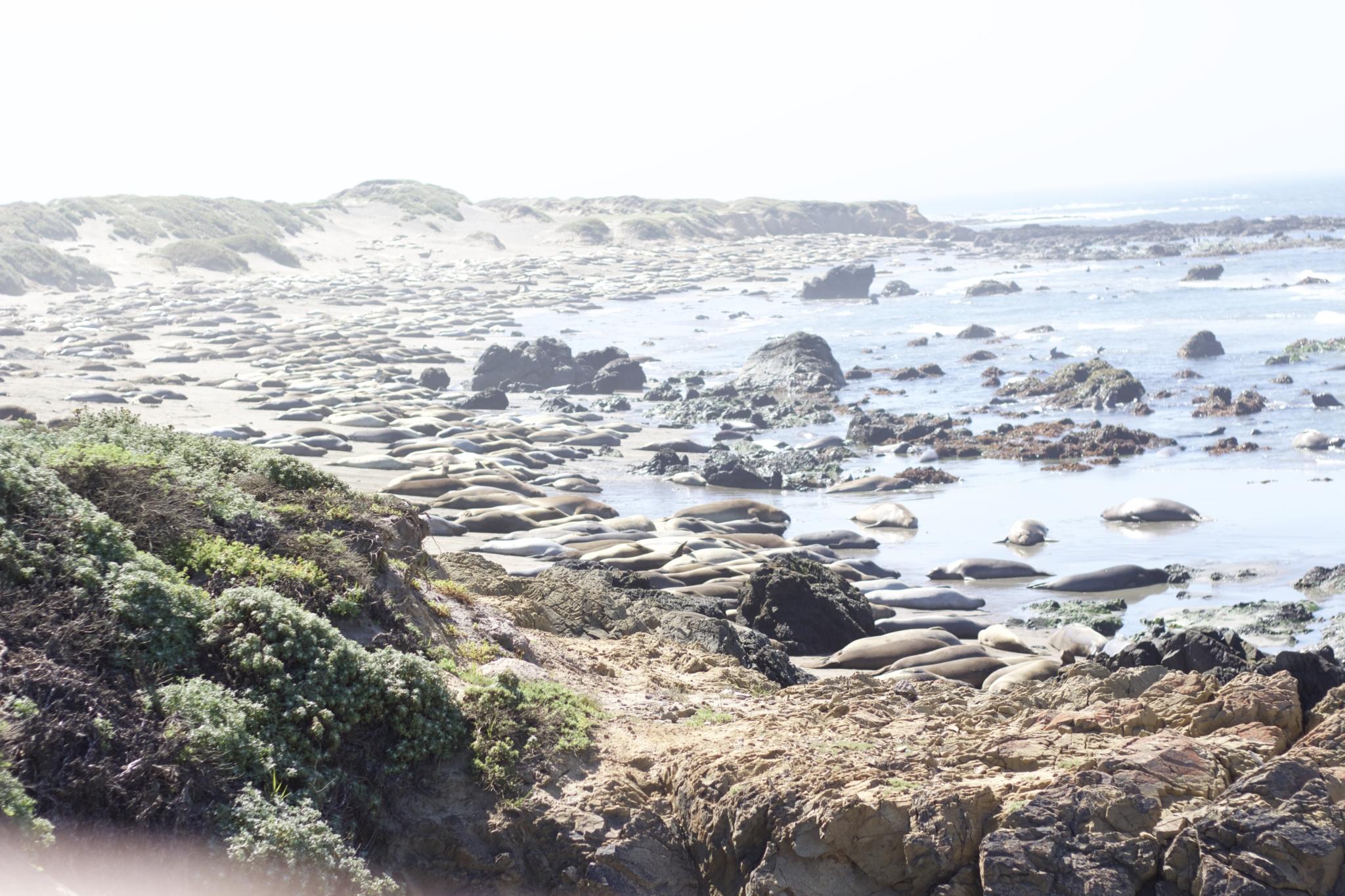 """Beitrag: """"travel thoughts: Wenn du bereits am ersten Tag angekommen bist"""" mit Reisetipps Highways Nummer 1 und 101 entlang der kalifornischen Küste - Nahaufnahme der See Elefanten in der Nähe von San Simeon"""