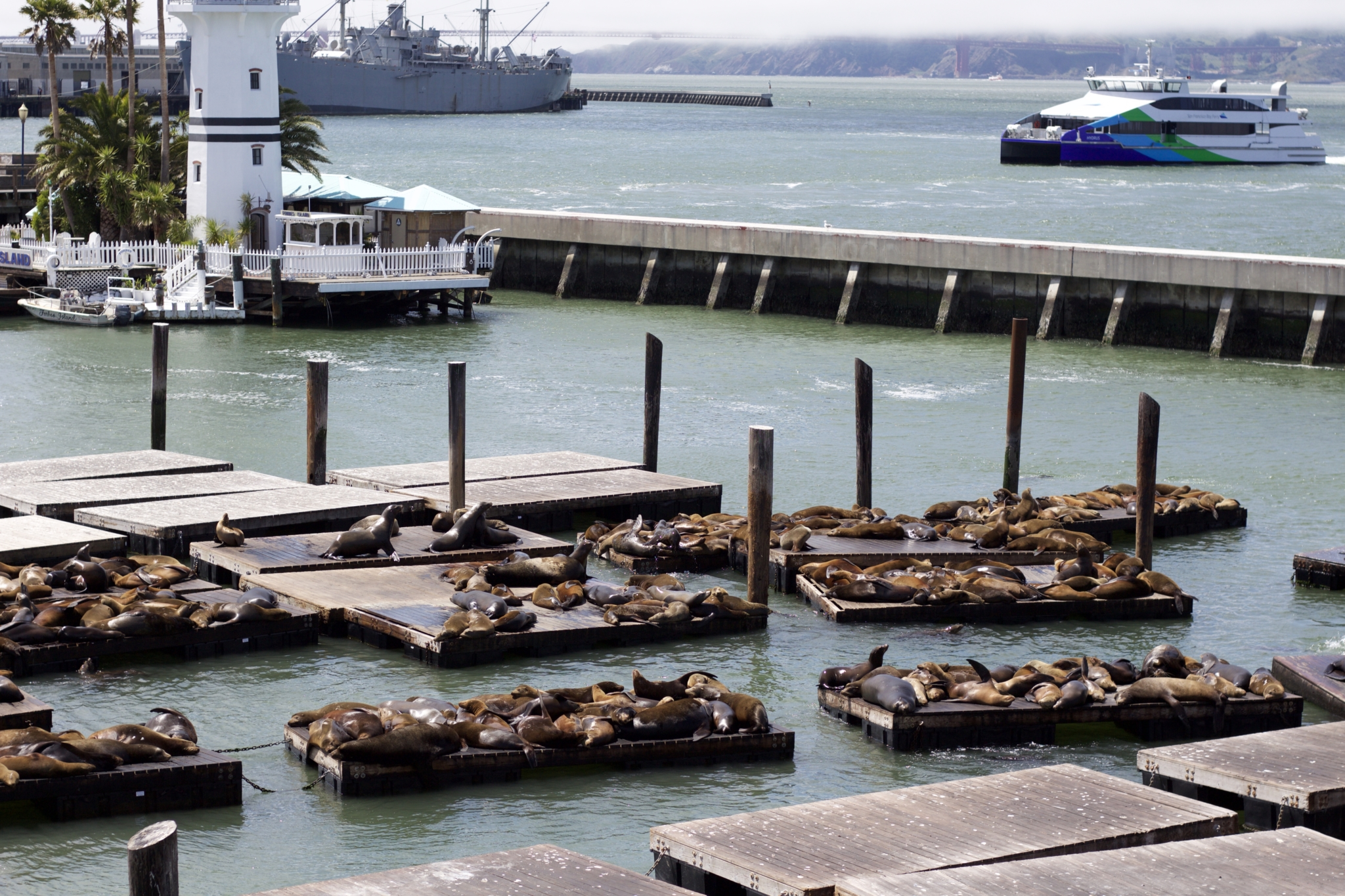 Seelöwen am Pier 39 - Ein Tag am Pier 39 in San Francisco - Erlebnisse und 5 Tipps für einen Tag am Pier 39 - Reise Blogger Tipps