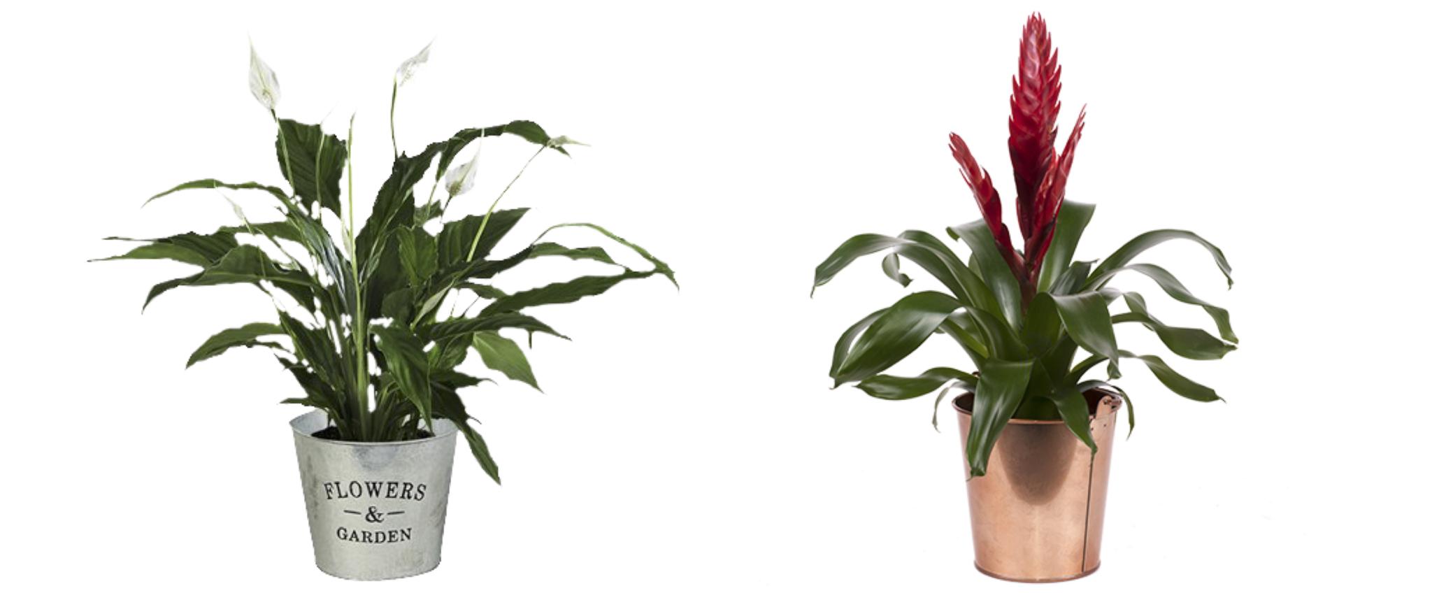 Die zwei Besten Pflanzen fürs Büro: Friedenslilie – Weißes Anthurium und Bromelien – die Exotische